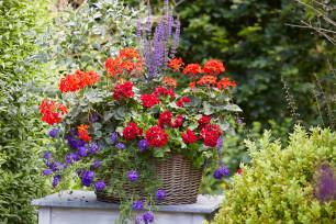 Geraniums met andere zomerbloeiers