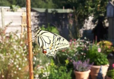 Vlinder net uit de pop