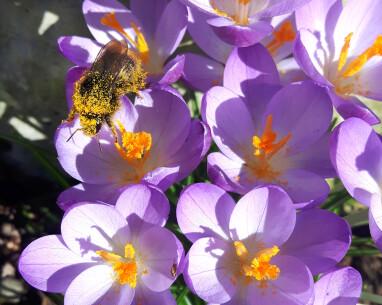 Hommel zoekt nectar in krokussen