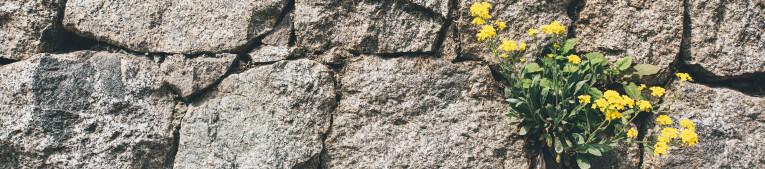 Onkruid in voegen muur