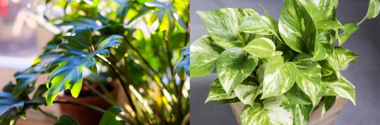 Philodendron Xanadu - Scindapsus Epipremnum