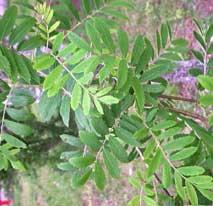 bladeren van de peerlijsterbes