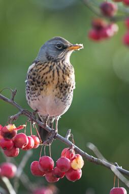 Kramsvogel eet appels van de Malus 'Red Sentinel'