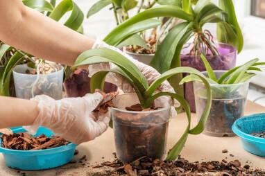 Orchideeën verpotten met substraat