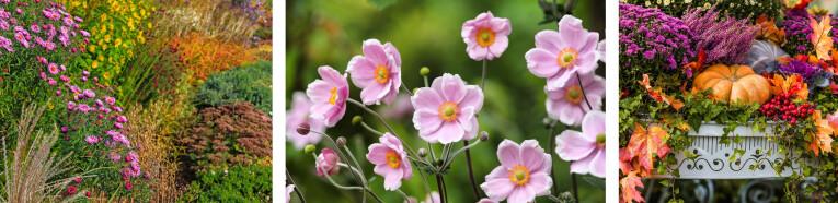 Anemonen - winterheide - Asters