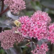 bijen - en hommelplanten