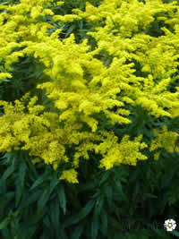 Guldenroede of Solidago