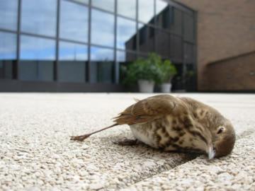 Waarom kunnen vogels het glazen obstakel niet zien