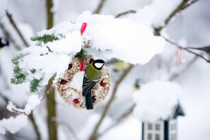 Parus major of Koolmees voederen in de winter