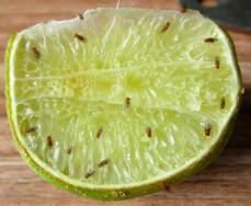 Limoen met fruitvliegen