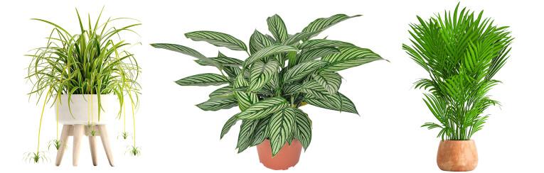 Chlorophytum - Calathea - Howea