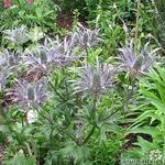 Eryngium alpinum 'Blue Star' - Kruisdistel - Eryngium alpinum 'Blue Star'