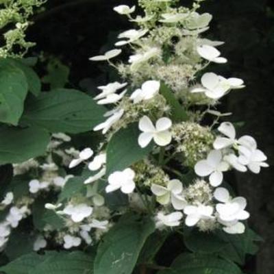 Hydrangea paniculata `White Moth` -