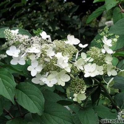 Hydrangea paniculata `White Lace`  -