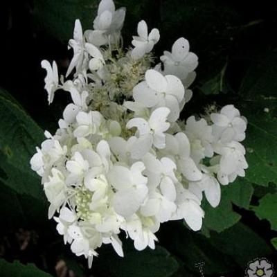 Hydrangea paniculata 'Ammarin' -