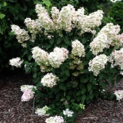 Hydrangea paniculata 'Pink Lady' -
