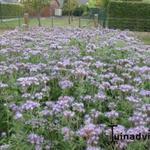 Phacelia tanacetifolia - Phacelia tanacetifolia - Bijenbrood, bijenvoer, bijenvriend