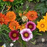 Gazania splendens - Gazania splendens - Middaggoud