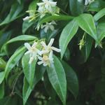 Trachelospermum jasminoides - Toscaanse Jasmijn,Sterjasmijn - Trachelospermum jasminoides