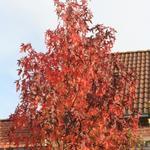 Liquidambar styraciflua - Amberboom - Liquidambar styraciflua