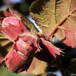 Corylus maxima 'Purpurea' - Lambertsnoot, Rode hazelaar - Corylus maxima 'Purpurea'
