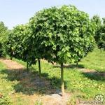 Acer platanoides 'Globosum' - Acer platanoides 'Globosum' - Bolesdoorn, Noorse esdoorn