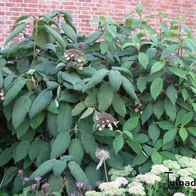 Hydrangea aspera -
