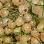 Ribes rubrum (witte bes) - Witte aalbes, witte bes, Trosbes - Ribes rubrum (witte bes)