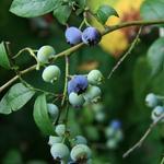 Blauwe bes - Vaccinium corymbosum