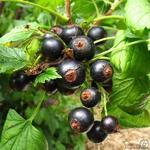 Ribes nigrum - Zwarte bes - Ribes nigrum