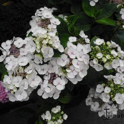 Hydrangea macrophylla lacecaps/teller -