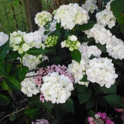 Hydrangea macrophylla 'Schneeball' -