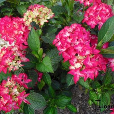 Hydrangea macrophylla 'Selma' -