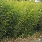 Phyllostachys bissetii - Bamboe - Phyllostachys bissetii