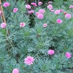 Argyranthemum - Argyranthemum - struikmargriet / zomermargriet