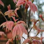 Acer pseudoplatanus 'Brilliantissimum'  - Acer pseudoplatanus 'Brilliantissimum'  - bonte bolesdoorn