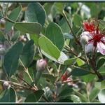 Acca sellowiana - Braziliaanse guave, Ananasguave - Acca sellowiana