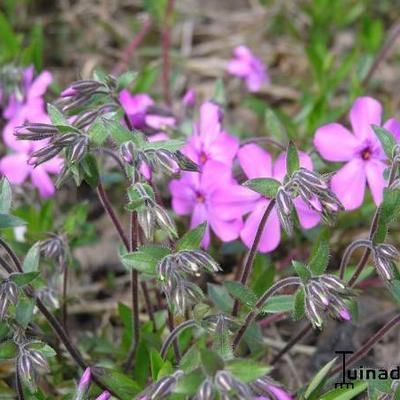 Phlox procumbens 'Rosea' -