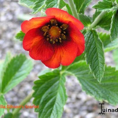 Potentilla hybriden -