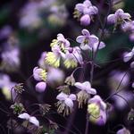 Thalictrum rochebrunianum - Ruit - Thalictrum rochebrunianum