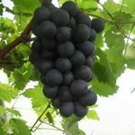 Vitis vinifera 'Boskoop Glory' - Druif, blauwe druif - Vitis vinifera 'Boskoop Glory'
