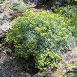 Alyssum tortuosum - Alyssum tortuosum - Schildzaad