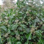 Hedera helix 'Arborescens'  - Hedera helix 'Arborescens'  - Struikklimop