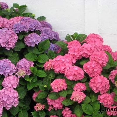 Hydrangea macrophylla -