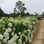 Hydrangea arborescens 'Annabelle' - Hortensia - Hydrangea arborescens 'Annabelle'
