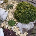 Buxus microphylla 'Curly Locks' - Buxus microphylla 'Curly Locks' - Buxus, randpalm