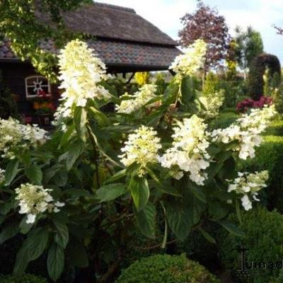 Hydrangea paniculata 'Floribunda' -