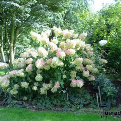 Hydrangea paniculata 'Phantom' - Pluimhortensia  - Hydrangea paniculata 'Phantom'