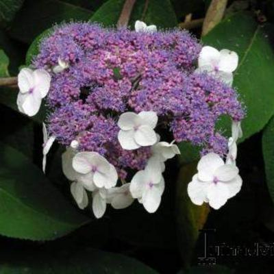 Hydrangea aspera subsp. sargentiana -