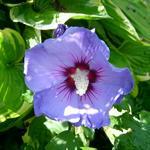 Hibiscus syriacus 'Oiseau Bleu' - Altheastruik, Heemstroos - Hibiscus syriacus 'Oiseau Bleu'